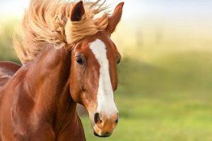 کنسانتره اسب